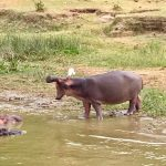 Challenge Ruwenzori Mountain-Bike Solidario hipopótamos